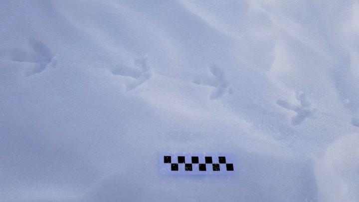 Empreinte de Lagopède alpin
