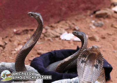 Galerie d'images - Serpents à lunettes