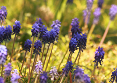Hyacinthe muscari