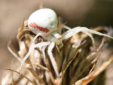 Araignées-crabes