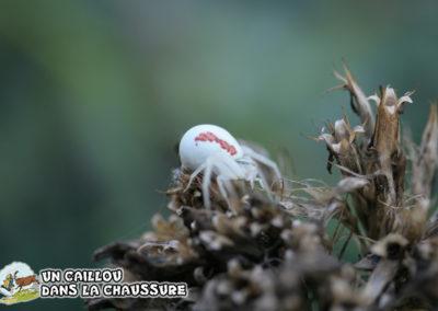 Galerie d'images – Araignée-Crabe