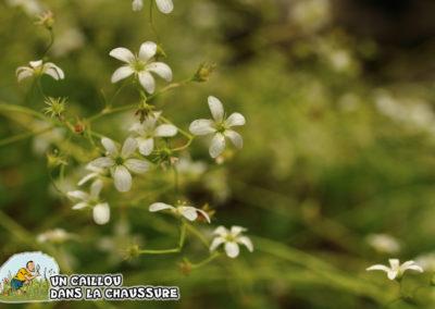 Galerie d'images – Saxifrage à feuilles en coin