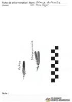 Mésange charbonnière - Plumes