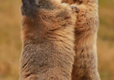 Randonnée - Saas-Fee - Mällig - Marmotte