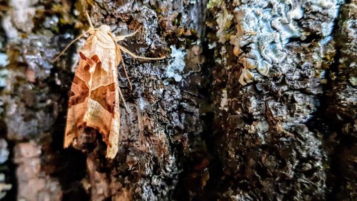 Méticuleuse (Papillon)