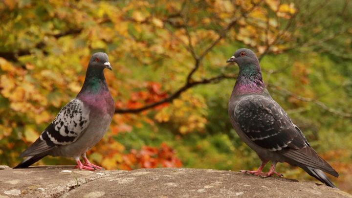 Pigeon biset (domestique)