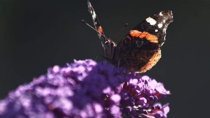 Vulcain (papillon)