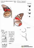 Vulcain (papillon) - Fiche de détermination