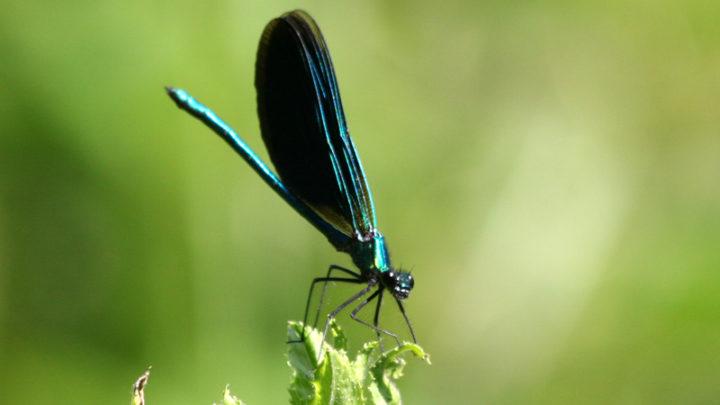 Caloptéryx vierge