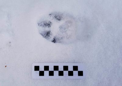 Chien domestique – Empreinte - Labrador