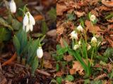 Ne pas confondre - Perce-neige et Nivéole de printemps