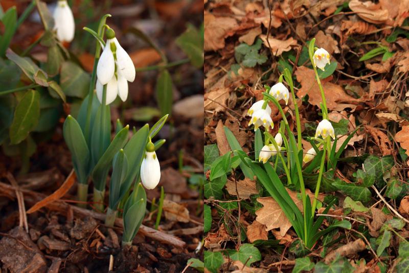 Ne pas confondre, Perce-neige et Nivéole de printemps
