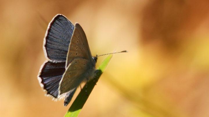 Azuré commun (Papillon)