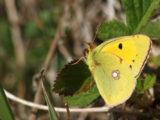 Fluoré (Papillon)