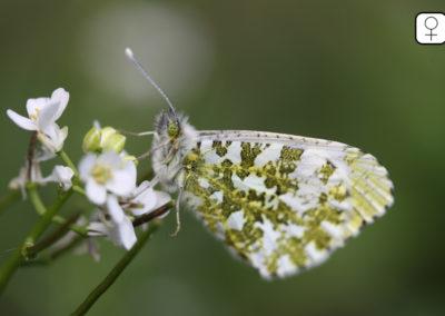 Aurore (papillon)