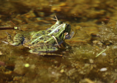 Grenouille rieuse