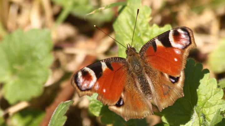 Paon-du-jour (Papillon)