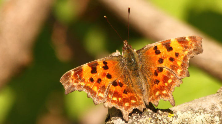 Robert-le-Diable (Papillon)