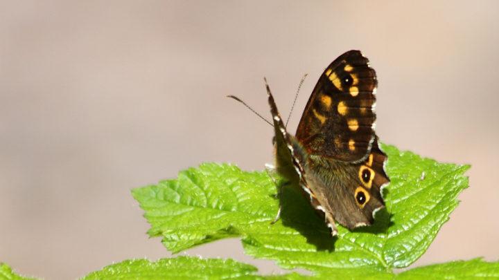 Tircis (Papillon)