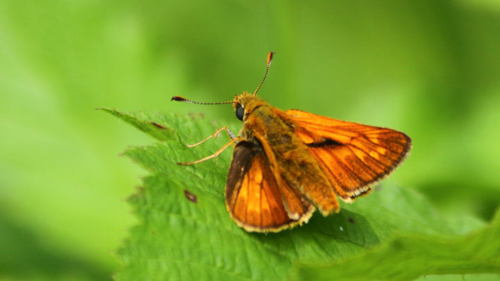 Hespérie sylvaine (Papillon)