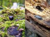 Ne pas confondre - Gloméris marginata et Cloporte rugueux