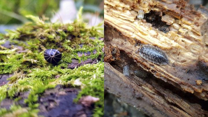 Ne pas confondre, Gloméris marginata et Cloporte rugueux