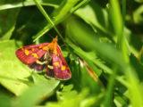 Pyrale pourprée (Papillon)