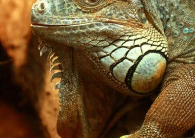 Galerie d'images – Iguane