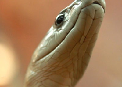 Galerie d'images – Constrictor